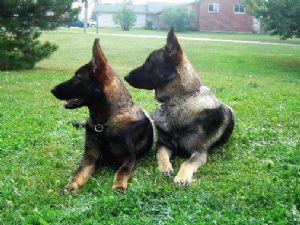 Wolf Grey German Shepherds