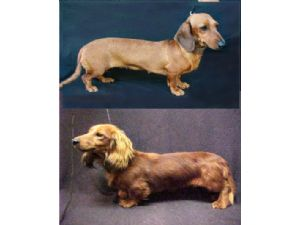 Dachshund Puppies For Sale: Mini Dachshund Pups For Sale in Florida