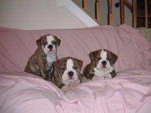 Bulldog Puppies For Sale English Bulldogs For Sale Cincinnati Or Md