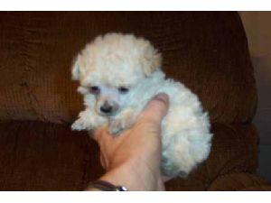 Toy Poodle Puppies For Sale: Teddy bear face poodles and