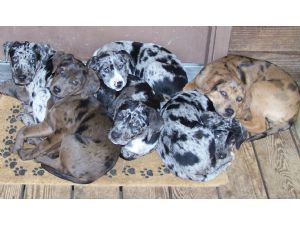 Catahoula Leopard Dog Puppies For Sale Nalc Registered Catahoula