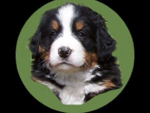 Bernese Mountain Dog Puppies For Sale Carousel Berners Of