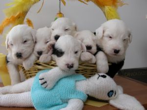 Old English Sheepdog Puppies For Sale: Puppies in California and
