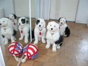 Old English Sheepdog Puppies For Sale: Puppies in California