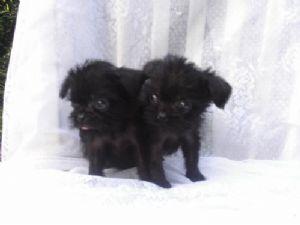 Affenpinscher Puppies For Sale Beautiful Affenpinscher Babies