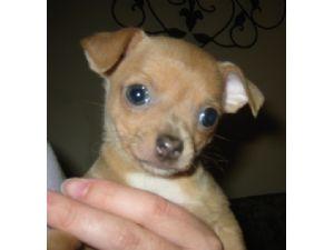 Chihuahua Puppies For Sale Georgia Chihuahua Puppies