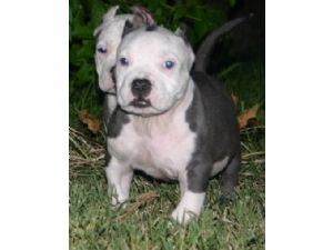 American Pit Bull Terrier Puppies For Sale: BLUE BRINDLE PUPS
