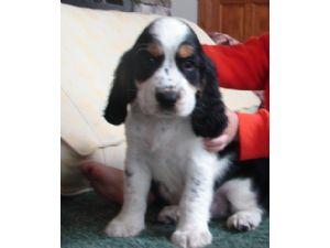 English Springer Spaniel Puppies For Sale: Leshocks English Springer