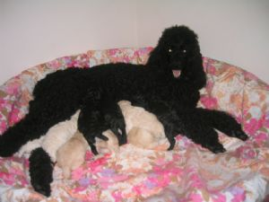 Standard Poodle Puppies For Sale: Standard Poodle Puppies