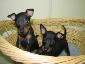 Manchester Terrier Puppies For Sale Toy Manchester Terrier Puppies