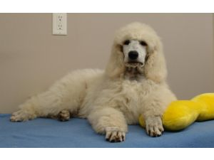 Standard Poodle Puppies For Sale Meadowlands Standard Poodles