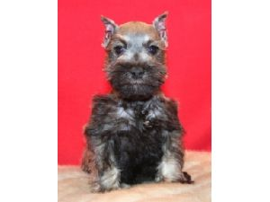 Miniature Schnauzer Puppies For Sale Mini Schnauzer Puppies For