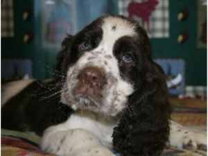 Clumber SpanielFor Sale for sale