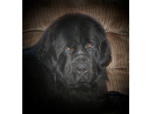 Newfoundland Puppies For Sale: Black Wolf Kennels, LLC Newfoundlands!