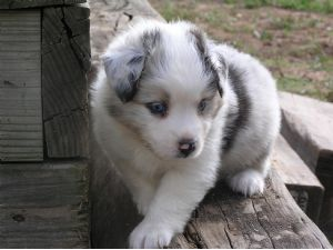Miniature Australian Shepherd Puppies For Sale Texas Toy And