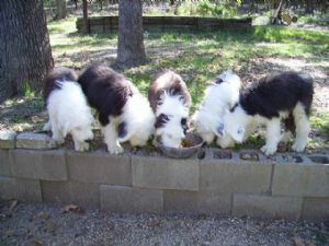 Old English Sheepdog Puppies For Sale: OESD male pups