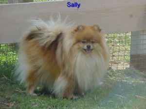 PomeranianFor Sale rescue
