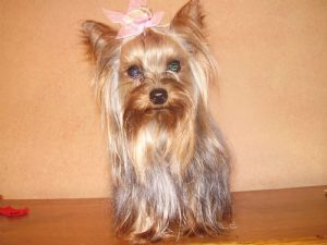 Yorkshire Terrier Puppies For Sale Adult Female Tiny 4lb Yorkie