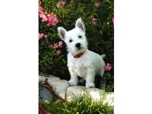 West Highland White Terrier Puppies For Sale: WESTIE PUPPIES FOR