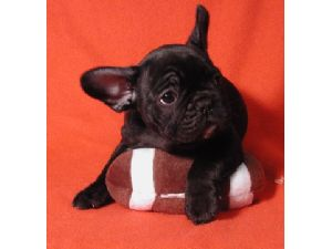 French Bulldog Puppies For Sale French Bulldog Puppies For Sale In
