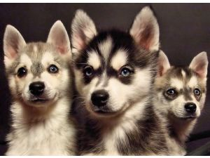 Alaskan Klee KaiFor Sale for sale. puppies for sale