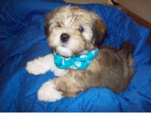 Havanese Puppies For Sale: BEAUTIFUL AKC REGISTERED PUPPIES