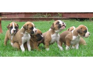 Boxers Puppies For Sale Akc Boxer Puppies In Wi Born June 6th