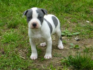American Pit Bull Terrier Puppies For Sale: White and Blue