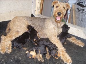 Airedale Terriers Puppies For Sale Pennsylvania Airedalesoorang