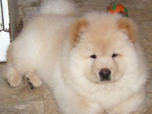 Chow ChowFor Sale breeder directory