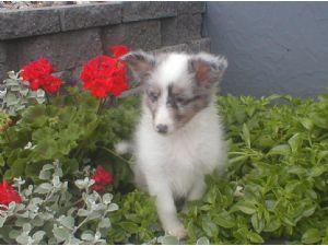 Shetland SheepdogFor Sale for sale