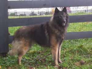 Belgian TervurenFor Sale for sale