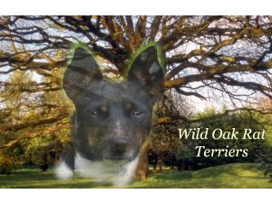 Rat TerrierFor Sale breeder directory