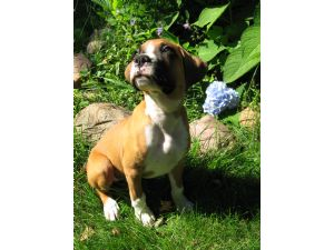 Boxers Puppies For Sale Just One Akc Boxer Puppy Left Flashy Male