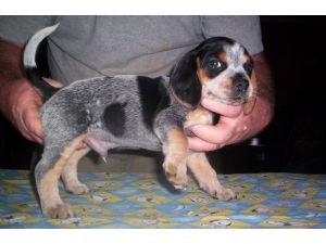 Beagle Puppies For Sale Akc Open Marked Blue Tick Beagle Pups