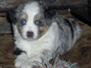Miniature Australian Shepherd
