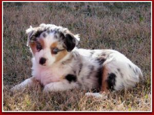 miniature australian shepherd breed information pictures. Black Bedroom Furniture Sets. Home Design Ideas