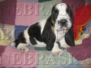 Basset Hound Puppies For Sale: AKC BASSET HOUND PUPPIES