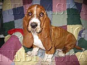 Basset Hound Puppies For Sale: AKC BASSET HOUND PUPPIES