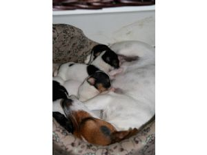 Jack Russell Terrier Puppies For Sale Jack Russell Puppies For Sale