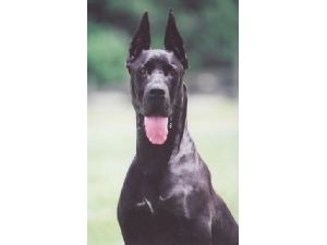 Great Dane Puppies For Sale: DANERMAN'S ! AKC DOBERMAN & AKC GREAT ...