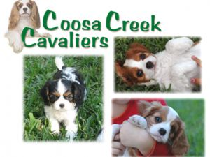 Cavalier King Charles Spaniel breeder directory