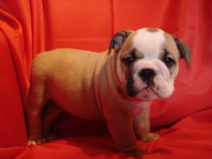 Fawn And White English Bulldog