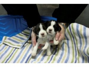 English Springer Spaniel Puppies For Sale: Springers in Texas