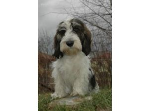Petit Basset Griffon VendeenFor Sale for sale