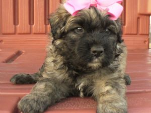 Bouvier Des Flandres Puppies For Sale Akc Sweet Bouvier Puppies