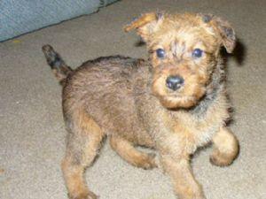 Irish Terrier Puppies For Sale Irish Terrier Pups For Sale