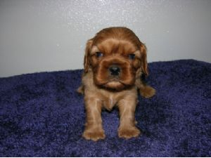 Cavalier King Charles SpanielFor Sale breeder directory