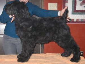 Black Russian TerrierFor Sale for sale