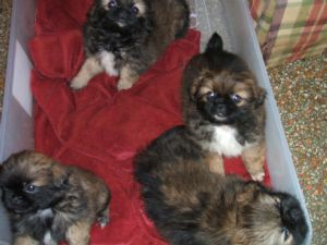 PekingeseFor Sale for sale